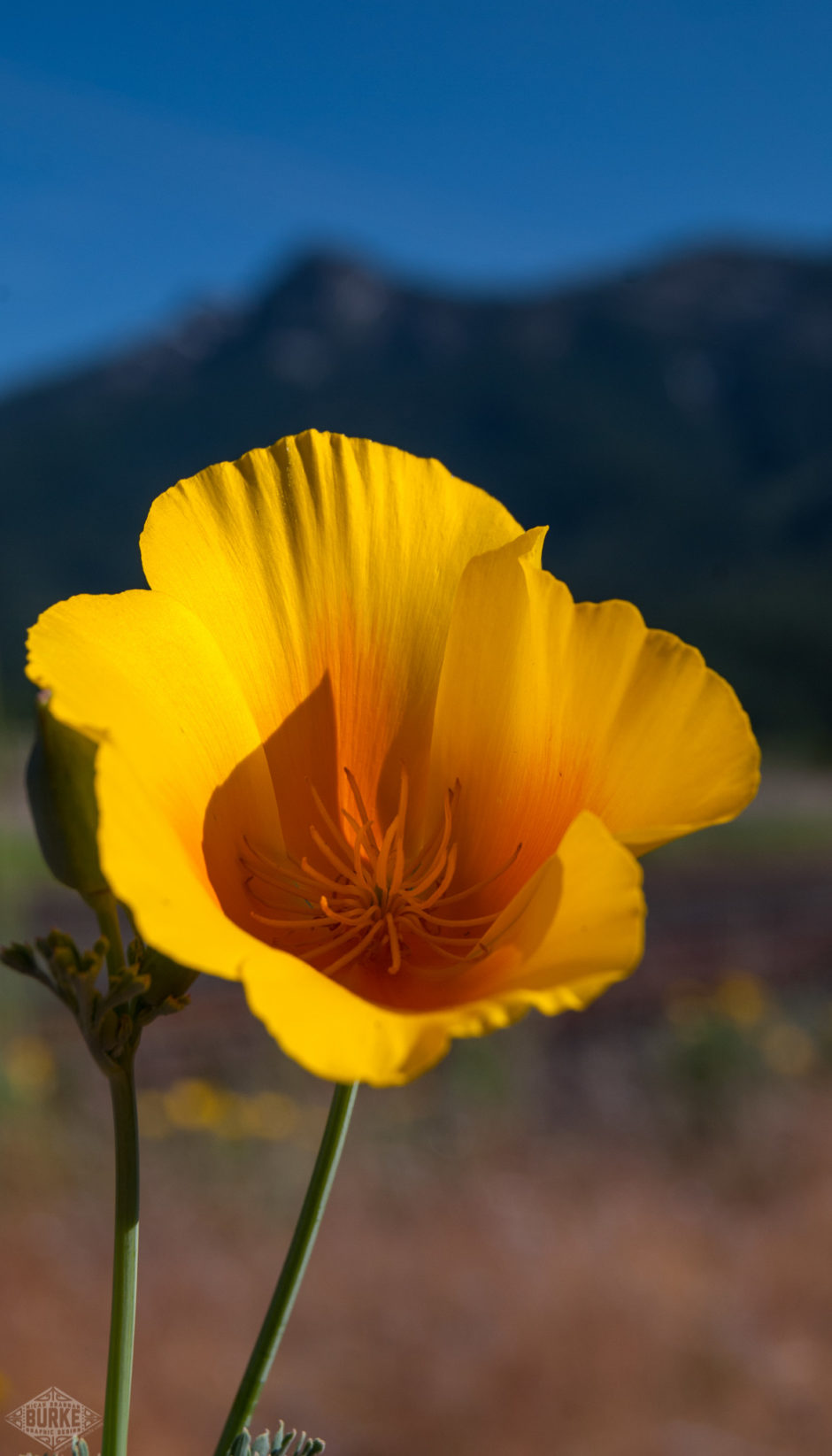 wpid-california-poppy.jpg